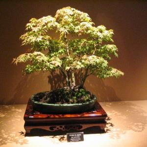 """I giapponesi raffinarono questa arte portandola ad un livello ineguagliato anche in Cina. Ci sono due stili fondamentali: il """"koten"""" o classico e il """"bunjin"""" o informale; quest'ultimo è il più difficile da padroneggiare. Un buon bonsai deve avere un'apparenza naturale e non deve mai mostrare l'intervento dell'uomo. Il bonsai può essere ottenuto dal seme, da rami trapiantati o da virgulti di alberi..."""