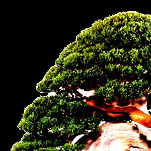 Dal 17 al 19 Maggio 2013 a Barate di Gaggiano (MI), un evento che metterà a confronto i migliori bonsai italiani e non solo, ma anche un'occasione per scoprire alcune tradizioni giapponesi.